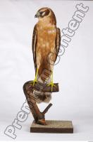 Buzzard-Circus aerogynosus 0022