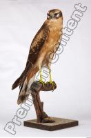 Buzzard-Circus aerogynosus 0023