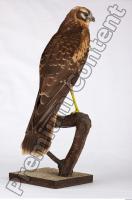 Buzzard-Circus aerogynosus 0025