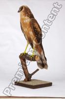 Buzzard-Circus aerogynosus 0029