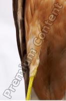 Buzzard-Circus aerogynosus 0032