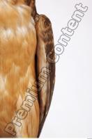 Buzzard-Circus aerogynosus 0041