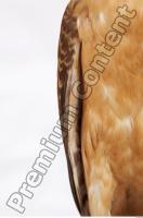 Buzzard-Circus aerogynosus 0042