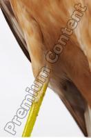 Buzzard-Circus aerogynosus 0045