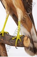 Buzzard-Circus aerogynosus 0047