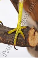 Buzzard-Circus aerogynosus 0049