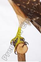 Buzzard-Circus aerogynosus 0052