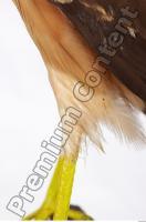 Buzzard-Circus aerogynosus 0053