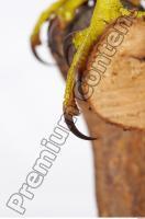 Buzzard-Circus aerogynosus 0055