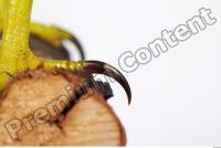 Buzzard-Circus aerogynosus 0056