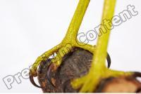 Buzzard-Circus aerogynosus 0057