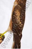 Buzzard-Circus aerogynosus 0058