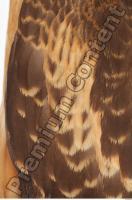 Buzzard-Circus aerogynosus 0059