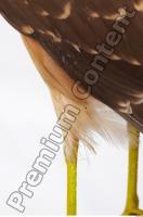 Buzzard-Circus aerogynosus 0062