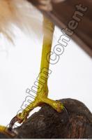 Buzzard-Circus aerogynosus 0064