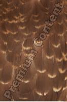 Buzzard-Circus aerogynosus 0070