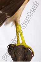 Buzzard-Circus aerogynosus 0074