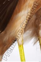 Buzzard-Circus aerogynosus 0080