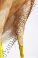 Buzzard-Circus aerogynosus 0083