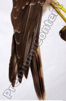Buzzard-Circus aerogynosus 0086