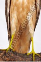 Buzzard-Circus aerogynosus 0091