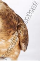 Buzzard-Circus aerogynosus 0094