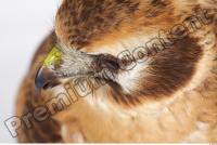 Buzzard-Circus aerogynosus 0095