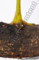 Buzzard-Circus aerogynosus 0097