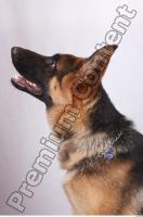 Dog-Wolfhound 0008