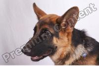 Dog-Wolfhound 0009