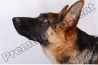 Dog-Wolfhound 0012