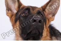 Dog-Wolfhound 0014