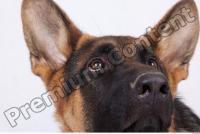 Dog-Wolfhound 0015
