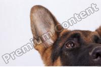 Dog-Wolfhound 0016