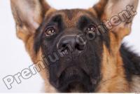 Dog-Wolfhound 0018
