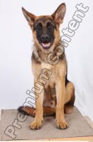Dog-Wolfhound 0027