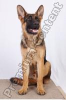 Dog-Wolfhound 0028