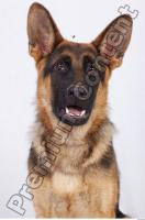 Dog-Wolfhound 0029