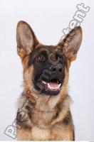 Dog-Wolfhound 0030