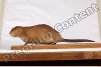 Muskrat-Ondatra zibethicus 0001