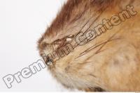Muskrat-Ondatra zibethicus 0005