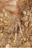Muskrat-Ondatra zibethicus 0018