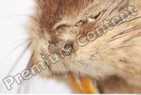 Muskrat-Ondatra zibethicus 0025