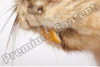 Muskrat-Ondatra zibethicus 0026