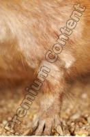 Muskrat-Ondatra zibethicus 0030