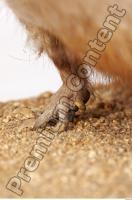 Muskrat-Ondatra zibethicus 0032