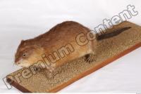 Muskrat-Ondatra zibethicus 0035