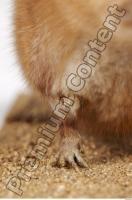 Muskrat-Ondatra zibethicus 0039