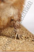 Muskrat-Ondatra zibethicus 0040