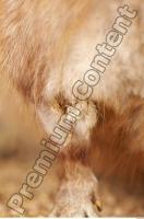 Muskrat-Ondatra zibethicus 0041